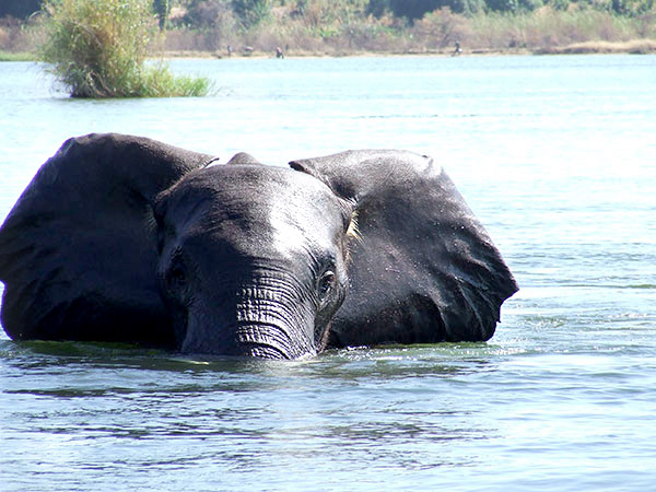 ELEPHANT IN THE ZAMBEZI
